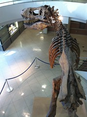 Tyrannosaurus rex at the University of California Museum of Paleontology, UC Berkeley
