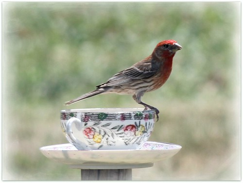 Male House Finch On Cup