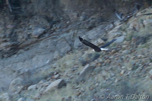 The Elusive Bald Eagle