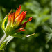 Indian Paintbrush _4391