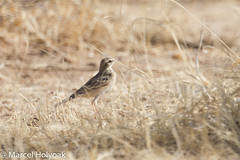 Tawny Pipit (Anthus campestris), Mora Plains, near Maroua, Cameroon, 2012-03-27 -101.jpg