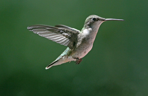 Ruby-throated Hummingbird (Archilochus colubris) caught in mid-flight, Bernardsville, NJ by JFPescatore