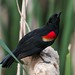 Small photo of Red-winged Blackbird (Agelaius phoeniceus)