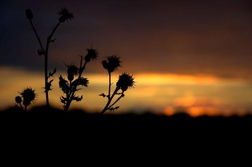 sunset summer orange silhouette geotagged nikon sonnenuntergang sommer gelb dämmerung juli bremen schwarz gegenlicht distel dunkelheit disteln niedersachsen leuchten d7000 parklinksderweser abendlicherspaziergang blumenimsonnenuntergang