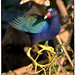 Purple Gallinule by billkominsky 