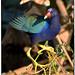 Purple Gallinule by billkominsky 