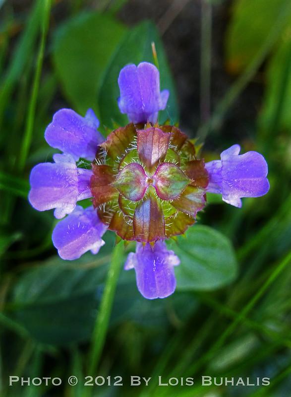 Lawn Flower 7-29-2012