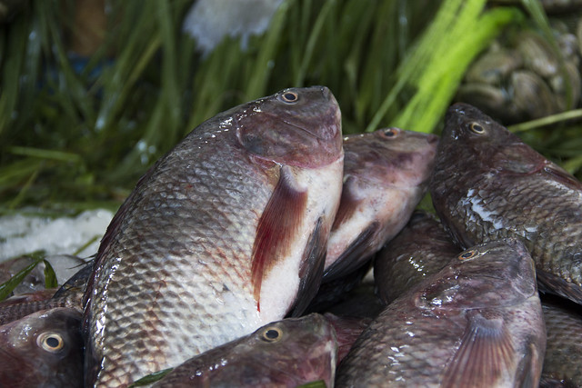 Farmed nile tilapia in a fish market cairo egypt photo for Tilapia not real fish