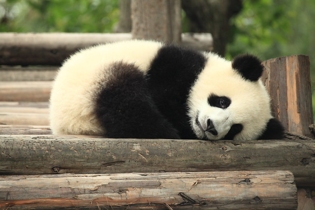Cute Baby Panda Pics: 7708851288_c078cbd16e_z.jpg