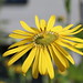 Silphium perfoliatum, Durchwachsene Silphie, Becherpflanze by julia_HalleFotoFan