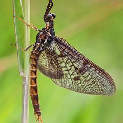 HolderMayfly (Ephemera vulgata) 1
