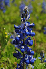 Bluebonnet Moment