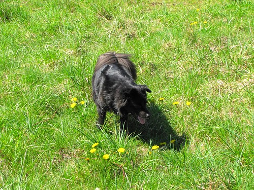 Bear Cub in the grass with dandelions