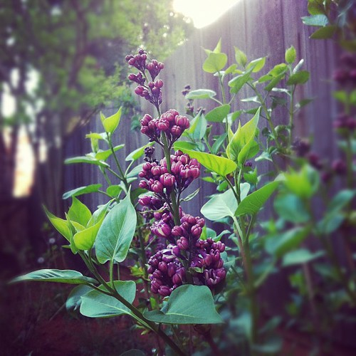 "Lilac - another plant to add to the short ""have not killed"" list"