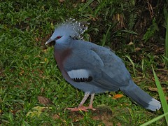 Victoria Crowned-pigeon Goura victoria
