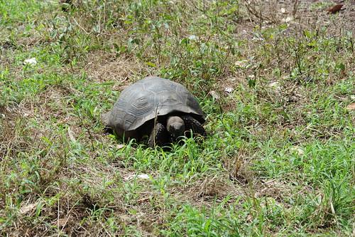 ガラパゴスゾウガメの子亀、発見
