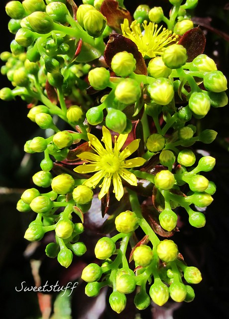 Aeonium 'Voodoo' bloom macro