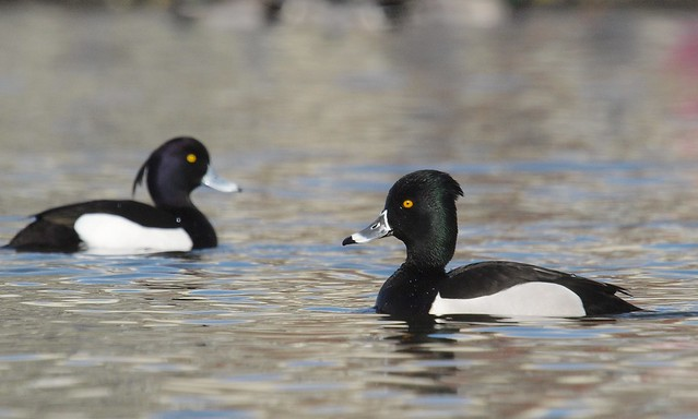 Ring-necked Duck x Tufted, Olympus E-3, Sigma APO 50-500mm F4.0-6.3 EX DG HSM