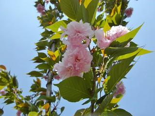 吉岡銅山桜の森公園の桜