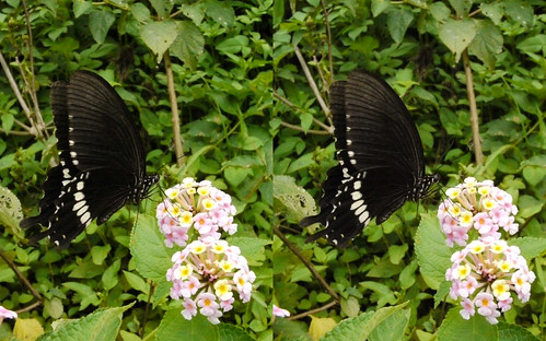 Papilio polytes, stereo parallel view