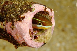 Blenny in a Tube