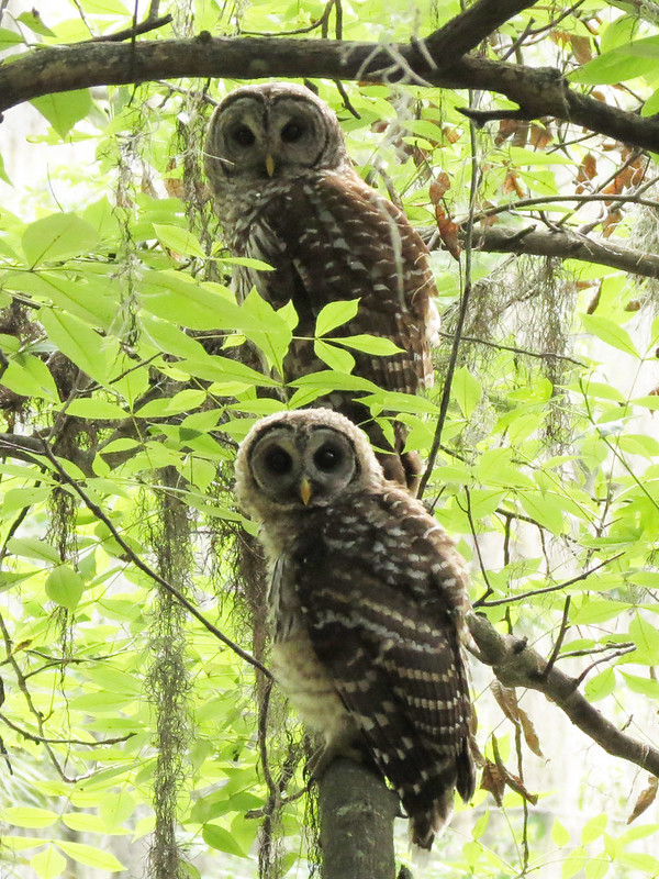 Barred Owls (shy baby & parent (mom?))