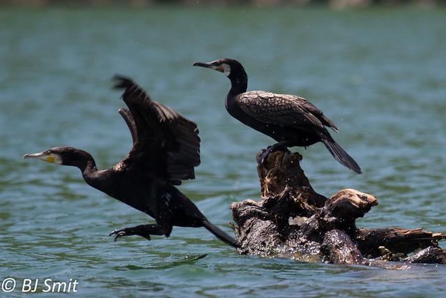 Great cormorant / aalscholver (Phalacrocorax carbo)