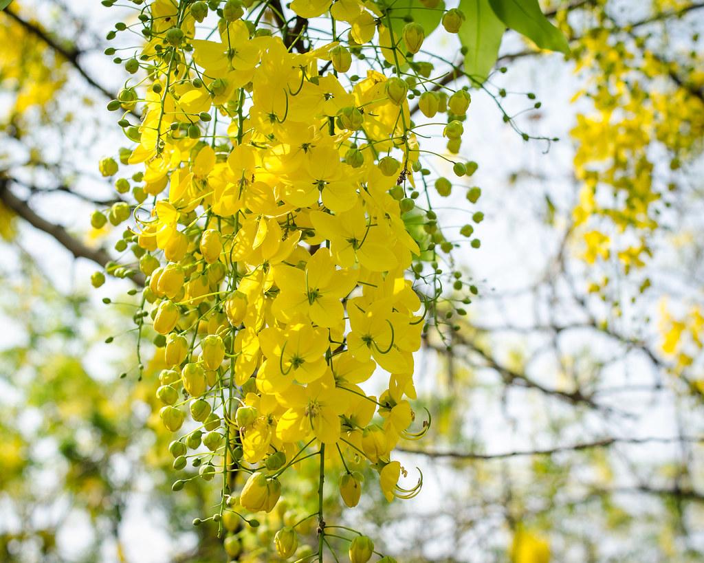 Golden showers tree