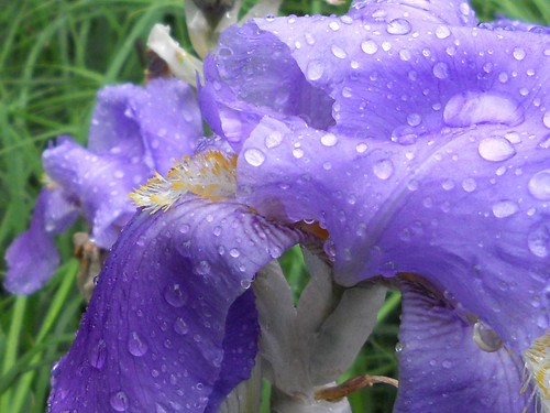 Iris in the Rain ---  Feliz Quinta flower !