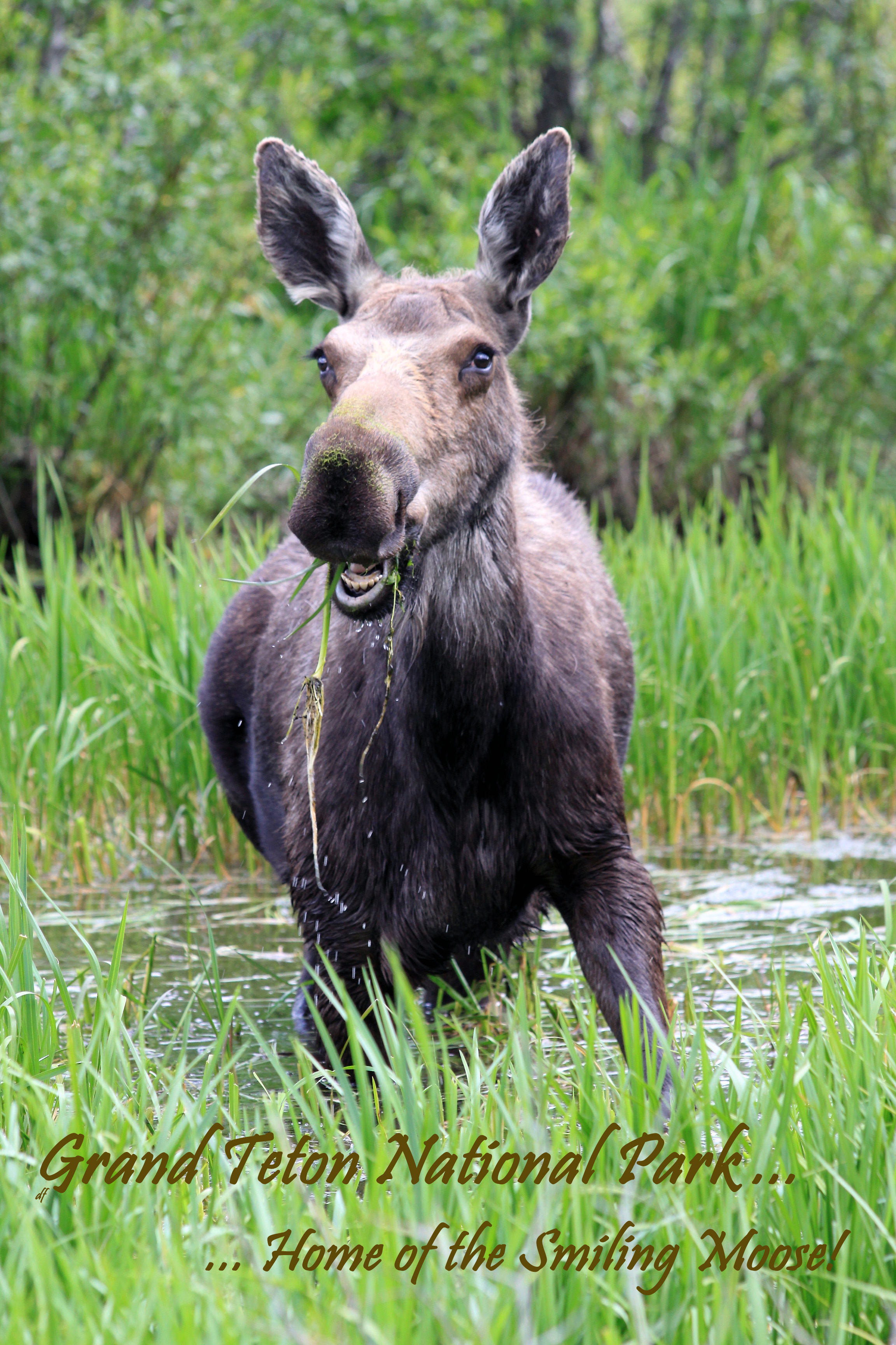 Displaying (19) Gallery Images For Smiling Moose...