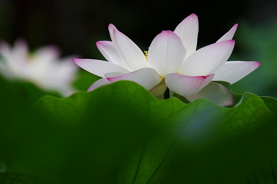 竹科靜心湖 - 荷花正盛