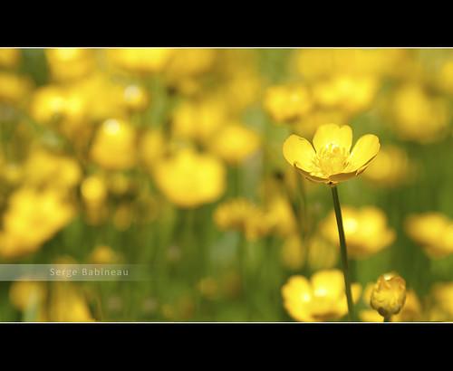 wild flower nature fleur field grass yellow gold weed flora buttercup blossom moncton dieppe