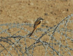 Long-tailed Shrike 1