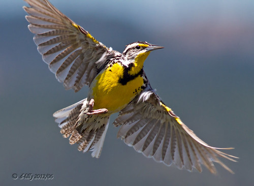 Meadowlark over Sierra Valley...Thank you all & have a wonderful weekend!