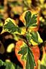 182/366 Chameleon Plant