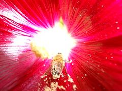 Rose trémière (Alcea rosea) / hollyhocks