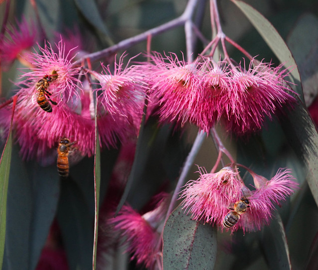 Image Result For Can Eucalyptus Oil