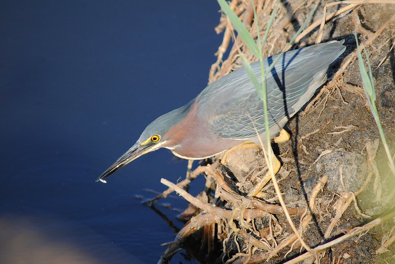 Американская зеленая кваква (Green Heron / Butorides virescens)