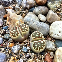 Living Stone, Lithops species