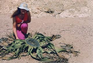 Welwitschia mirabilis Hook
