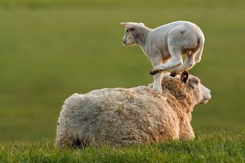 Leapsheeping Lamb