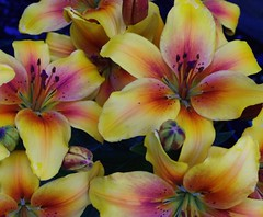 lily, flower, yellow, plant, flora, daylily, pink, petal,