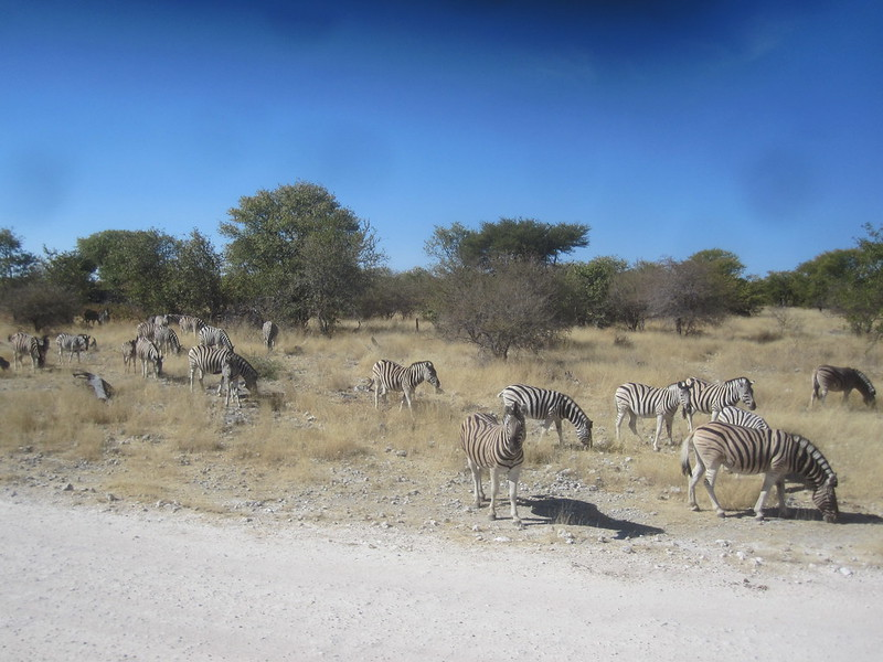 Etosha Namibia Zebras