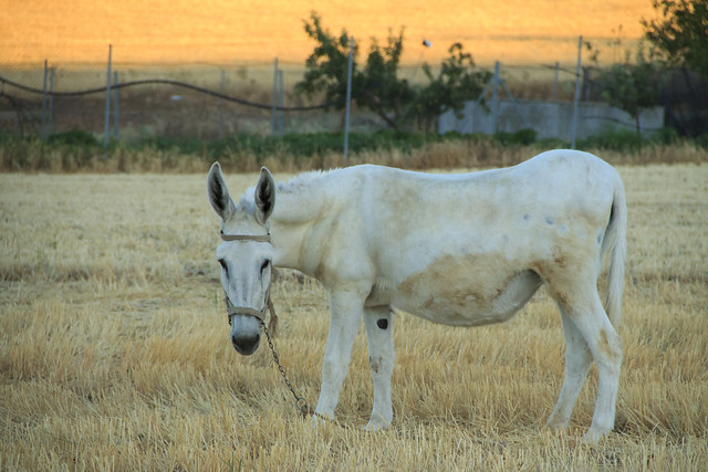 burro blanco mirando flickr photo sharing
