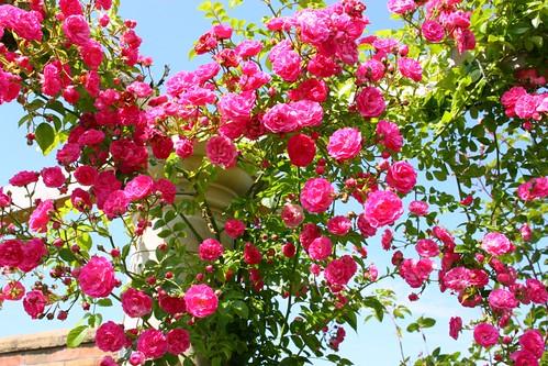 Minnehaha climbing Roses at David Austin Roses