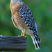 red-shouldered Hawk - Buteo lineatus by Cleber C. Ferreira