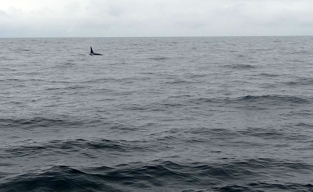 orca-from-distance