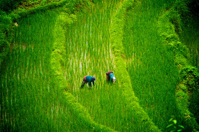 Along the rice field