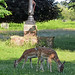 Deer at Bushy Park