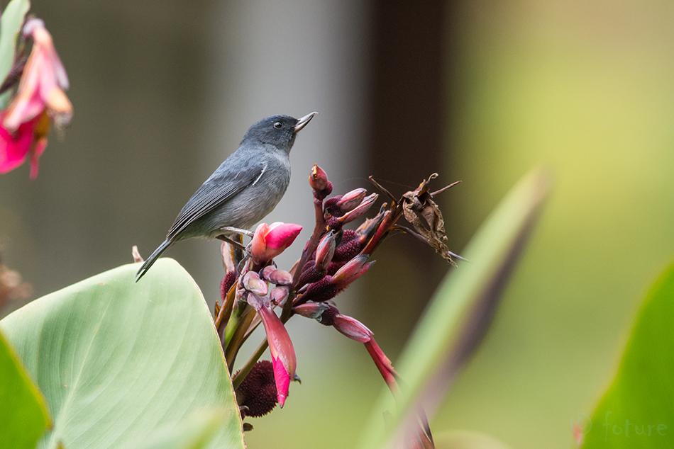 Diglossa, plumbea, Slaty, Flowerpiercer, Parque, Nacional, Los, Quetzales, Costa, Rica, Kaido Rummel